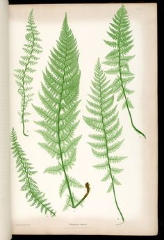 Ferns via MBG The ferns of Great Britain and Ireland (1855) / by Thomas Moore ; edited by John Lindley ; nature-printed by Henry Bradbury.  Volume 1 of 1
