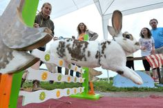 Kaninhop: Showjumping rabbits take place in championships in Germany - Mirror Online