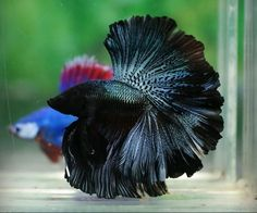 Siamese fighting fish AKA Betta is an awesome creature and very less demanding compared to other delicate fishes. Just ensure a 5 Gallon tank along with proper biological filtration and you are good to go! Pretty Fish, Cool Fish, Beautiful Fish, Underwater Creatures, Ocean Creatures, Colorful Fish, Tropical Fish, Freshwater Aquarium, Aquarium Fish