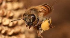 bee with basket full of pollen