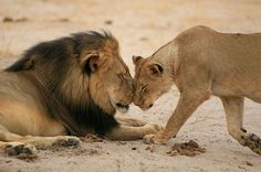Real Pride: Cecil pictured with a lioness in the Linkwasha camp before his untimely death
