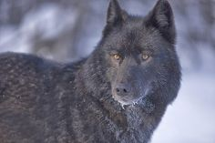 Black Wolves May Look Like Any Other Wolf, But They're Really Hiding A Secret People Don't Realize Black Siberian Husky, Black Husky, Coyotes, Husky Wolf Mix, Husky Tumblr, Yellowstone Wolves, Tamaskan Dog, Northern Inuit Dog, Saarloos
