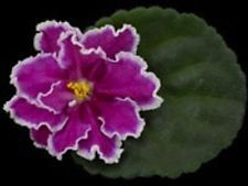 African Violet Plant- Hot Foot (2 inch pot)