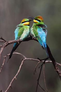 "Image source: Rainbow Bee Eaters by David Kleinert Photography ~ ""The earth has music for those who listen"""