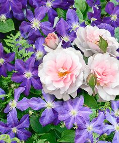 Another great find on #zulily! Live 'The President & New Dawn' Climbing Rose Clematis #zulilyfinds