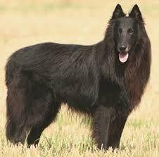 shepherd breeds - Поиск в Google