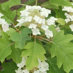 oak leaved hydrangea