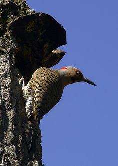 minnesota birds | Acadian Flycatcher (Empidonax virescens)