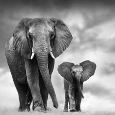 WildAid ( What a stunning photo! Reminding us that these beautiful animals are Elephant Photography, Wildlife Photography, Animal Photography, Elephants Photos, Elephant Pictures, Elephant Canvas, Elephant Love, Amazing Animals, Animals Beautiful