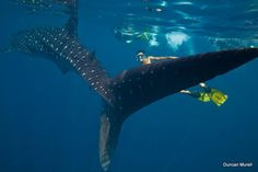 Our Palawan Adventure: What To Do In Palawan  Whale shark swimming at puerto princessa bay