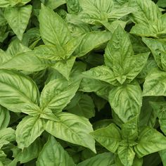 Don't waste your time drying basil when you could be eating pesto.