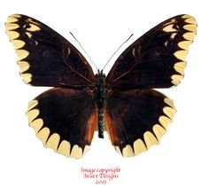 This is the rare Cethosia leschenaulti from Timor.