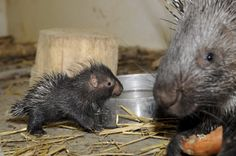 The Ultimate Collection Of Baby Porcupine Pictures