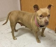 Miss Biscuit is an adoptable Dog - Pit Bull Terrier Mix searching for a forever family near Helena, AL. Use Petfinder to find adoptable pets in your area.