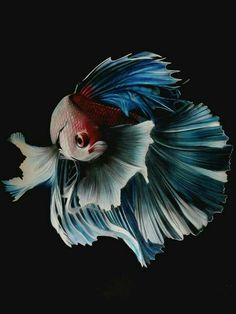 how to take care of betta fish - Expert Aquariums Pretty Fish, Beautiful Fish, Animals Beautiful, Colorful Fish, Tropical Fish, Poisson Combatant, Carpe Koi, Fish Wallpaper, Beta Fish