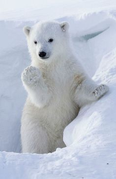 Cub waves for the camera as it emerges from den in Canada ~~Polar Bear Cub Polar Bear Paw, Grizzly Bear Cub, Baby Bear Cub, Baby Polar Bears, Cute Polar Bear, Cute Bears, Baby Pandas, Baby Giraffes, Baby Otters