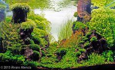 """Fangorn"" (195L) by Álvaro Atencia. Plants: riccardia chamedryfolia, pogostemon helferi, staurogyne repens, hemianthus callitrichoides cuba, fissidens fontanus, rotala rotundifolia, rotala green, flame moss, ludwigia senegalensis, bucephalandra Sp., weeping moss."
