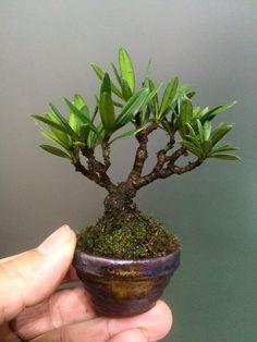 張永川 Mini Bonsai, Plants, Plant, Planets