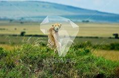Chita/Cheetah by Hugo Macedo – Moderimage