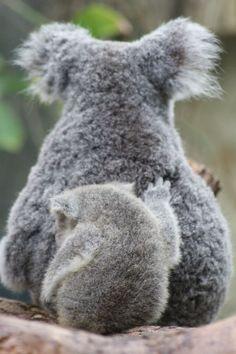 Mom koala with baby Wild Animals Attack, Animal Attack, Animals And Pets, Baby Animals, Mon Zoo, Baby Koala, Australian Animals, Cute Creatures, Cute Funny Animals