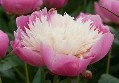 Peony (Paeonia lactiflora) 'Bowl of Beauty'