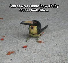 Just a little baby toucan…most baby animals are cuter than the adult ones, birds, not so much.