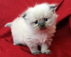 Pretty Girl :) Danielsdencats - Himalayan Cats and Kittens of Augusta Georgia