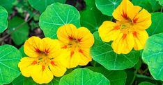 Nasturtiums, colorful flowers that are fast and easy to grow, not only contain beneficial amounts of vitamin C, iron and manganese, beta carotene, but they also boast the highest lutein content of any edible plant. https://articles.mercola.com/sites/articles/archive/2018/03/30/growing-nasturtiums.aspx?utm_source=dnl&utm_medium=email&utm_content=art1&utm_campaign=20180330Z1_UCM&et_cid=DM195660&et_rid=260404917