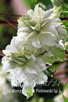 Clematis 'Maria Skłodowska Curie'PBR - Another! White Clematis, Clematis Flower, Clematis Vine, Exotic Flowers, Pretty Flowers, White Flowers, Moon Garden, Blue Garden, Garden Trees