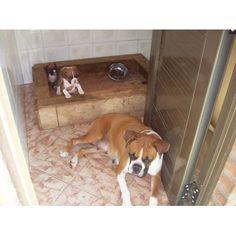 boxer excelentes, bayos marcados y tapados http://avellaneda.anunico.com.ar/aviso-de/animales_mascotas/boxer_excelentes_bayos_marcados_y_tapados-8184063.html