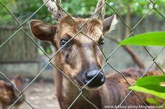 "Visayan Spotted Deer ""Usa"" Status: Endangered"
