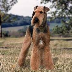Airedale Terrier Our Airedale Ferne has the white blaze on her chest too