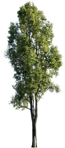 PNG. Cut out photo of Black poplar tree with transparent background.