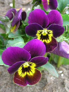 Feb 16.....I just love Pansies & Johnny jump ups!!!!!!!!!!! Can't wait for spring :)
