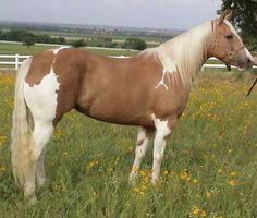 Show Horse Gallery - Flyin in Gold Cute Horses, Horse Love, Beautiful Horses, Animals Beautiful, Horse Barns, Horse Stalls, American Paint Horse, Horse Training, Training Tips