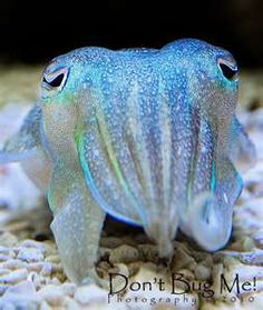 Iridescent Cuttlefish. This one looks magical.