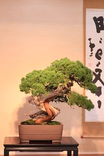Conifer Trees, Deciduous Trees, Indoor Bonsai Tree, Juniper Bonsai, Bonsai Styles, Miniature Trees, Bonsai Garden, Horticulture, Botanical Gardens
