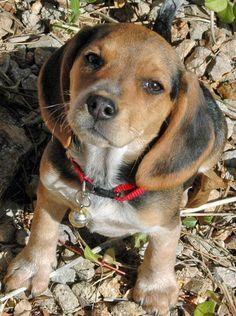 Mya the Beagle
