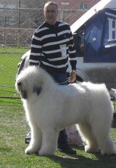 Romanian Mioritic - Google Search Goats, Google Search, Animals, Animales, Animaux, Animal, Animais, Goat