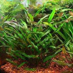 Cryptocoryne Lutea live aquarium plant