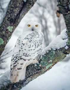 Snowy Owl in a winter wonderland Owl Photos, Owl Pictures, Exotic Birds, Colorful Birds, Beautiful Owl, Animals Beautiful, Owl Facts, Bird Barn, Barn Owls