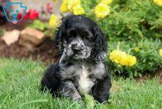 Mighty | Cocker Spaniel Puppy For Sale | Keystone Puppies Blue Roan Cocker Spaniel, American Cocker Spaniel, Cocker Spaniel Puppies, Cute Puppies For Sale, Spaniel Puppies For Sale, I Love Dogs, Cute Dogs, Cockerspaniel, Companion Dog