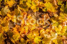 Colorful Leaves (Acer Pseudoplatanus L.) - Pattern royalty-free stock photo