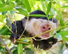 corcovado national park - capuchin monkey