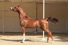 Arabian horse stallion