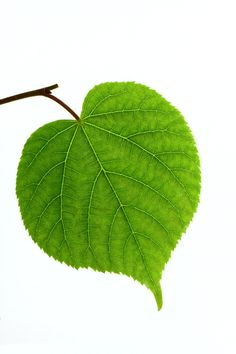linden leaf - photo/picture definition at Photo Dictionary - linden leaf word and phrase defined by its image in jpg/jpeg in English Leave In, Tree Leaves, Plant Leaves, Photo Dictionary, Linden Leaf, Dancing Drawings, Fall Art Projects, Leaf Photography, Leaf Drawing