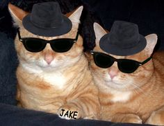 Pictures of Sunglasses Cats