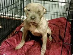 ★1/9/15 SL★•HOUSTON•LOOK AT THIS SWEET GIRL!!!•PLEASE SAVE HER!!!★ Currently in foster care for demodex. She is praying for a home for Christmas! PetHarbor.com: Animal Shelter adopt a pet; dogs, cats, puppies, kittens! Humane Society, SPCA. Lost & Found.