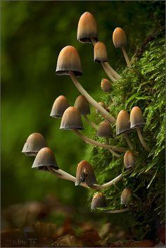 Glistening Inkcap mushrooms (Coprinellus micaceus)