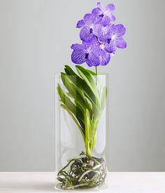 Blue Vanda Orchid